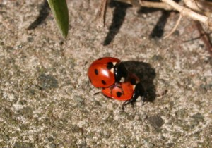 Ladybirds having fun - 2